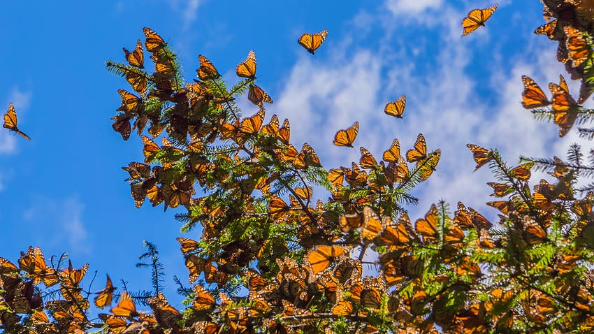 Many Monarch Butterflies on a tree branch, with blue sky beyond, Michoacan.