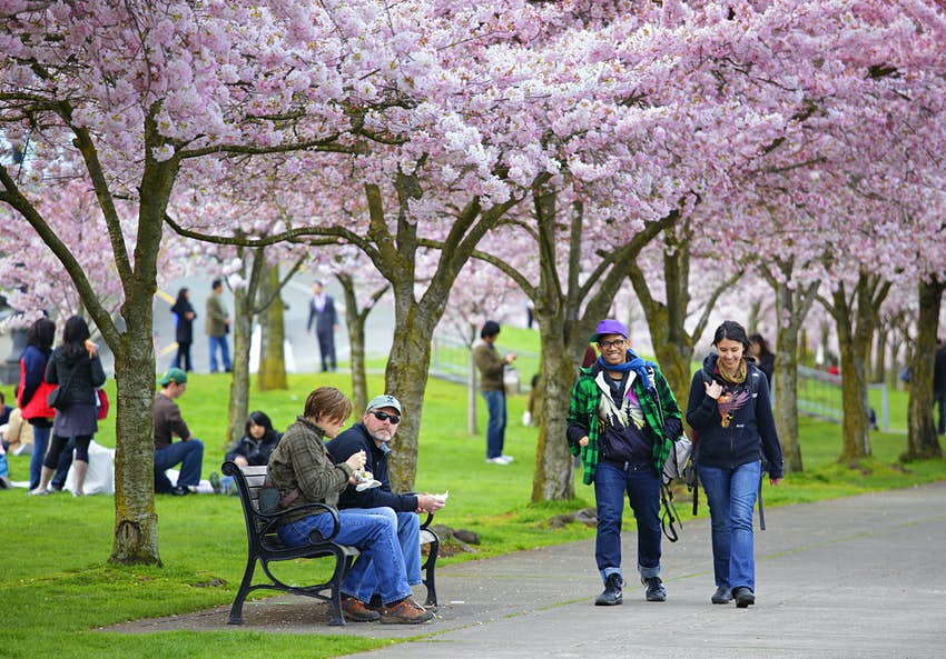 Pink cherry blossoms on trees lining a pathway in a city park. People are walking by or sat on benches under the trees.