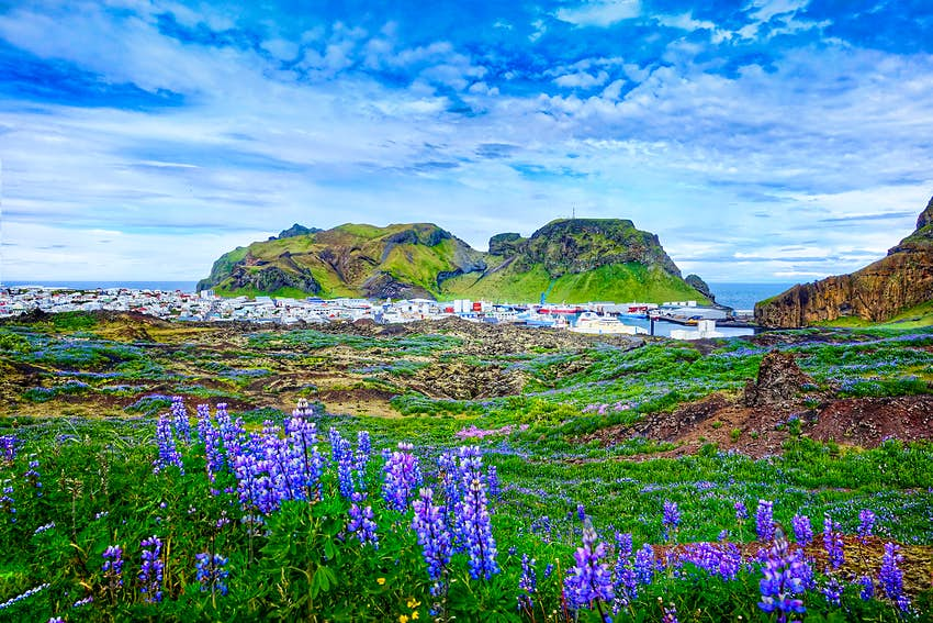 Purple flowers and greenery growing on a rocky landscape. In the distance is a series of colorful low-rise buildings near the sea