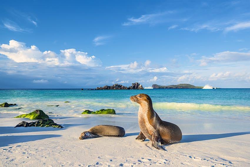 Galapagos sea lions (Zalophus wollebaeki) sunbathing in the late afternoon on a beach at Espanola island..