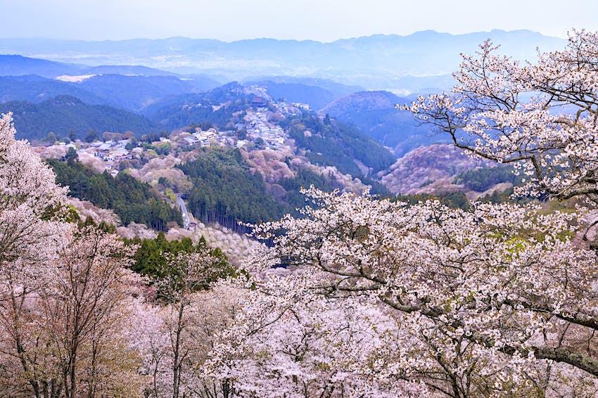 Kinki_Spiritual_cherry_trees.jpg