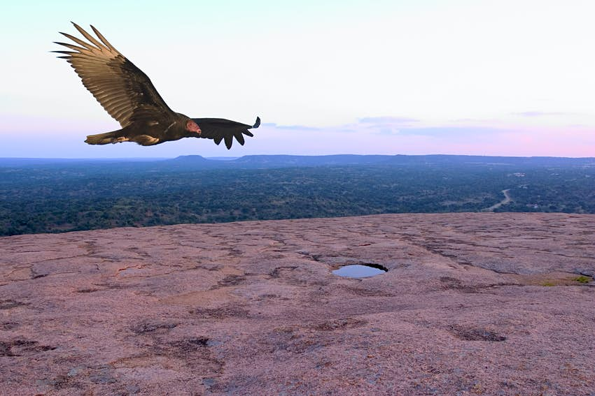 Turkey vulture soaring over the summit of Enchanted Rock State Natural Area, Texas