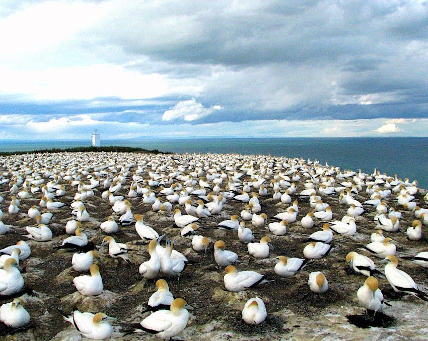 Gannets as far as the eye can see