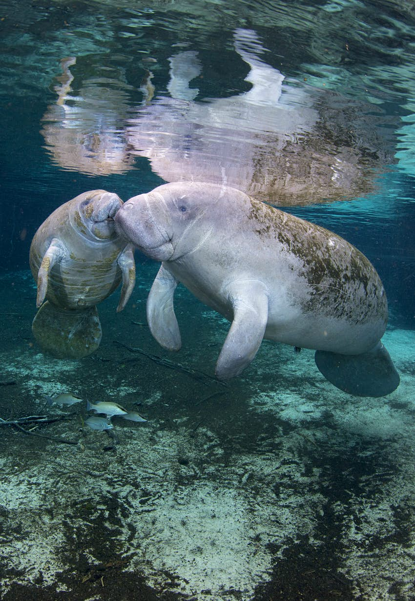 Two large gray creatures with rounded noses and streamlined fins bump against their noses underwater