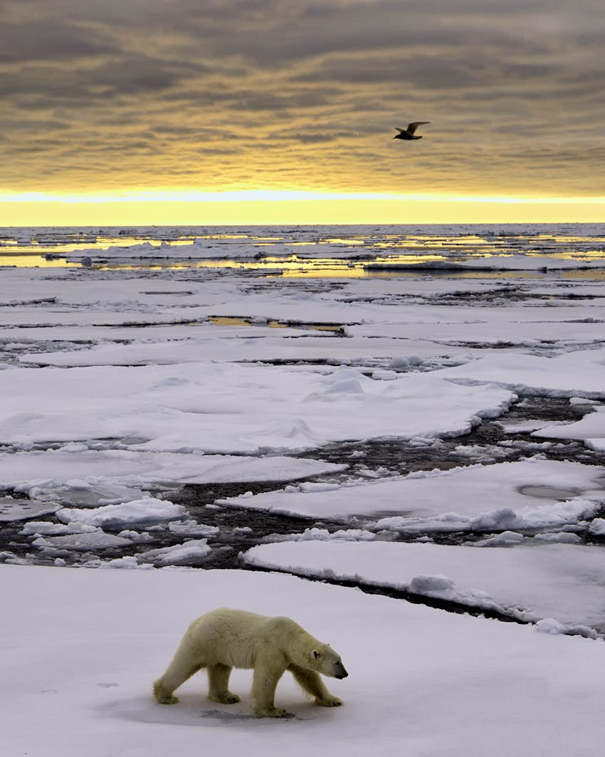 Polar bear walking on the ice at sunrise near Svalbard, Norway