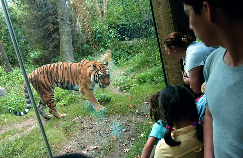 A tiger behind an enclosure while families look on