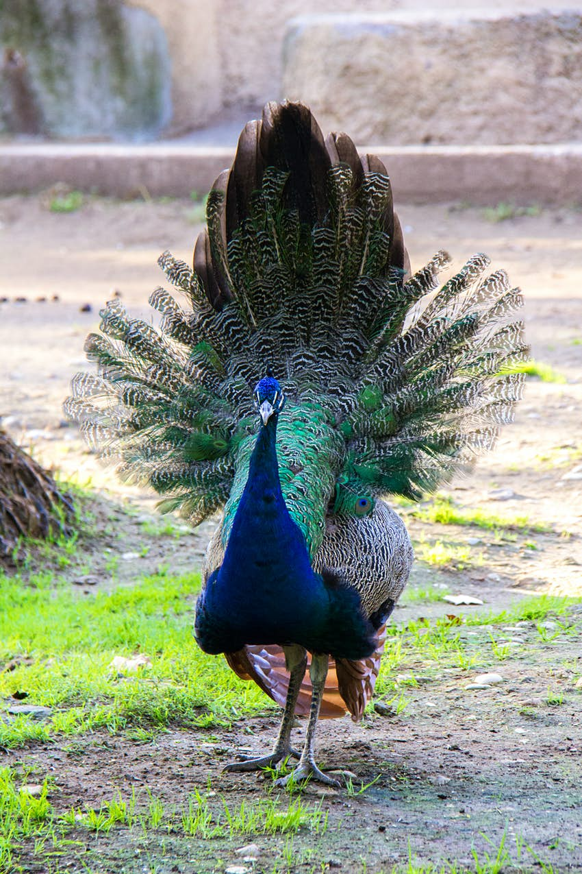 Peacock fanning its feathers in the Roman zoo.