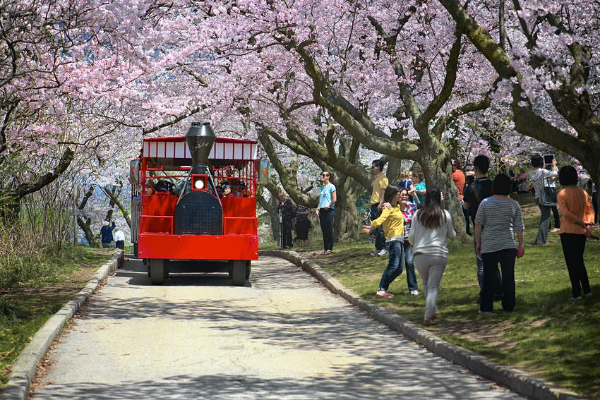 Red tour bus travelling under cherry blossoms in High Park during spring