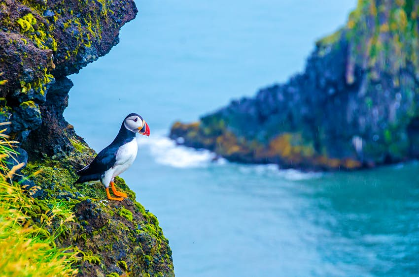 A black and white bird with a colorful beak and bright orange feet stands on the edge of a cliff in a fjord