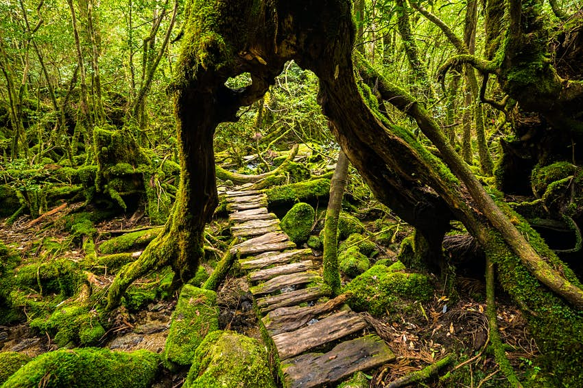 A forest walkway on the island of Yakushima that goes through the trunk of a giant cedar tree.