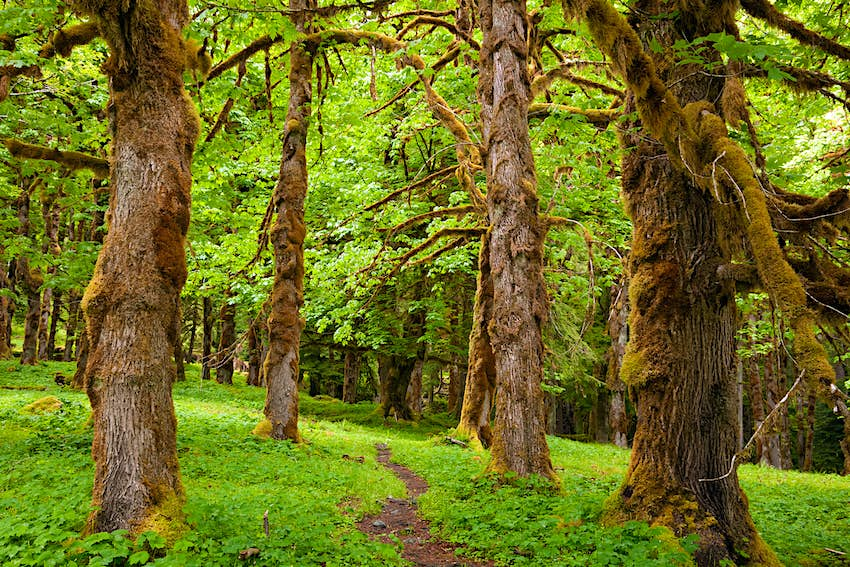 The Quinault River Trail passing between moss covered maple trees in the Quinault Rain Forest of Olympic National Park.