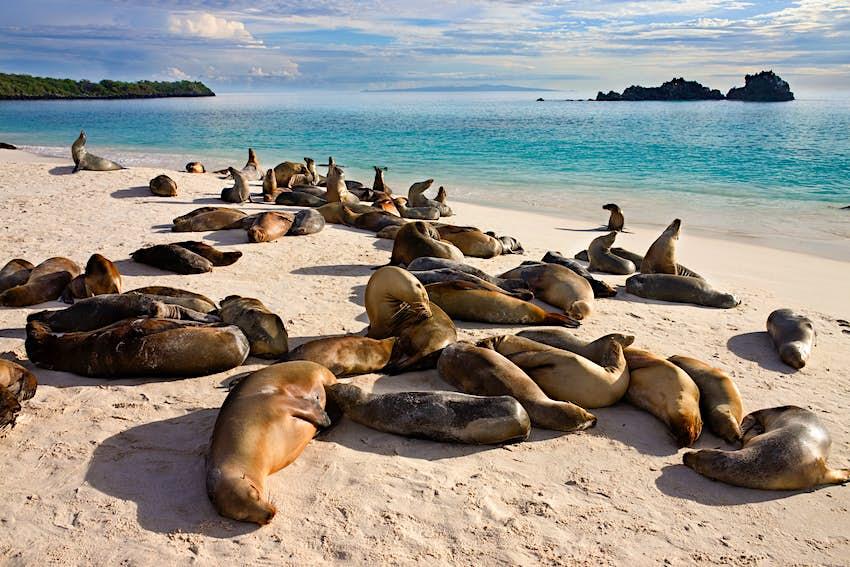 Galapagos sea lion (Zalophus wollebaeki) colony at Gardner Bay on Isla Espanola