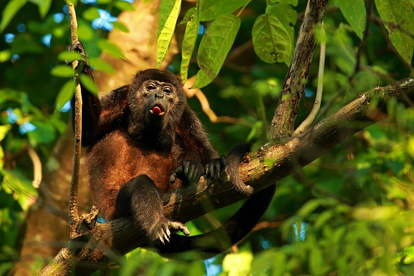 Howler monkey in a tree in Cabo Matapalo, Costa Rica