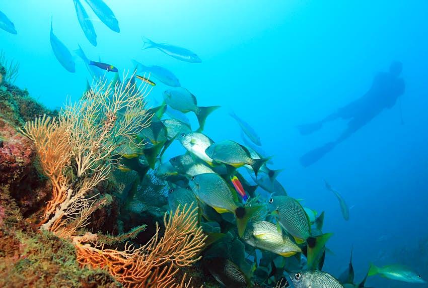 Diver exploring a coral reef at Isla del Caño, Costa Rica