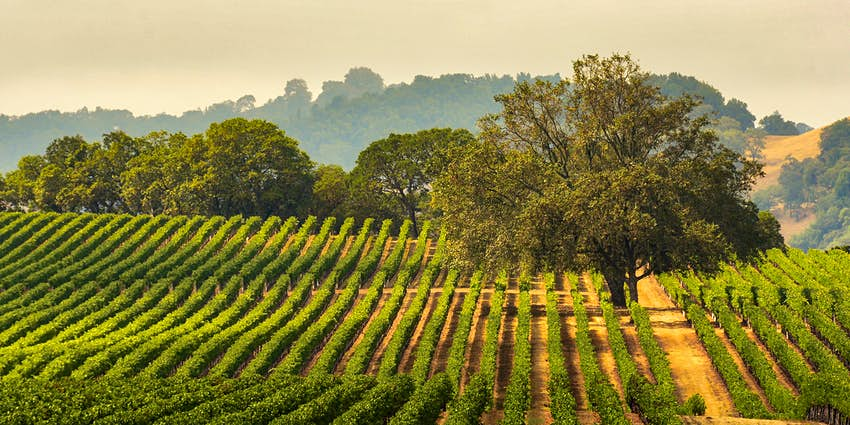 Panorama of a vineyard with an oak tree in Sonoma County, California