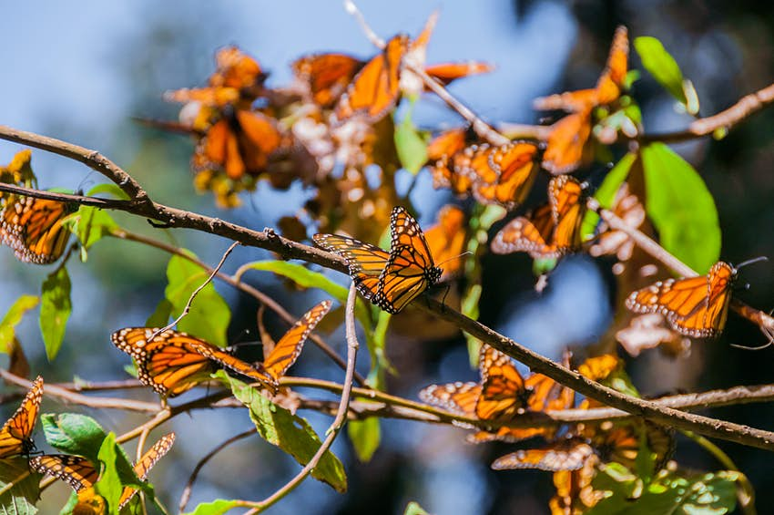 Monarch butterflies cover the branches of a tree in the Biosphere Reserve, Mexico