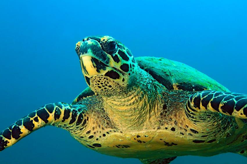 Hawksbill Turtle at Parque Nacional Coiba