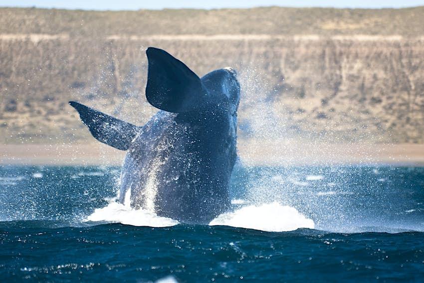 Una gran ballena salta del mar
