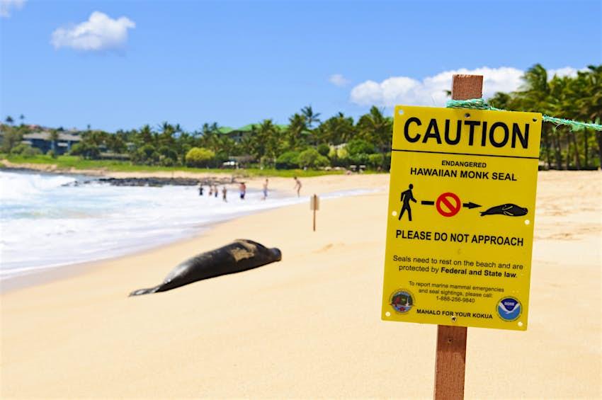 Endangered Hawaiian Monk seal resting on Shipwreck Beach on Kauai
