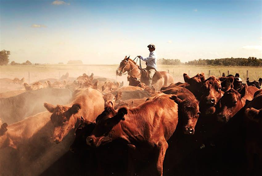 Un kucho (jinete) monta a caballo entre un grupo de vacas en un campo polvoriento
