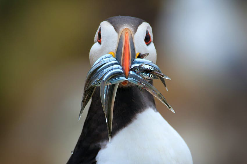 Atlantic puffin with sand eels in its beak in Scotland