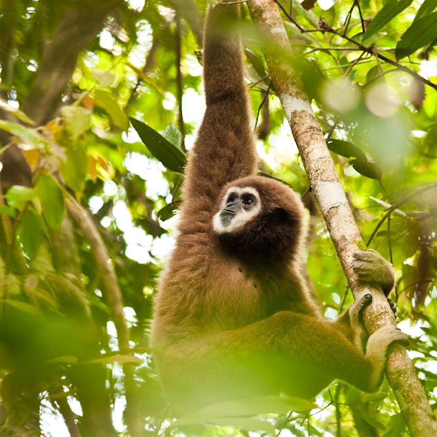 Gibbon de manos blancas macho comiendo hojas en las selvas de Tailandia