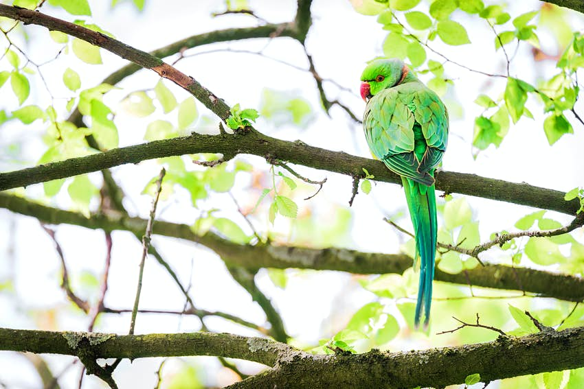 A green parakeet with a red beak sat on a branch in a tree