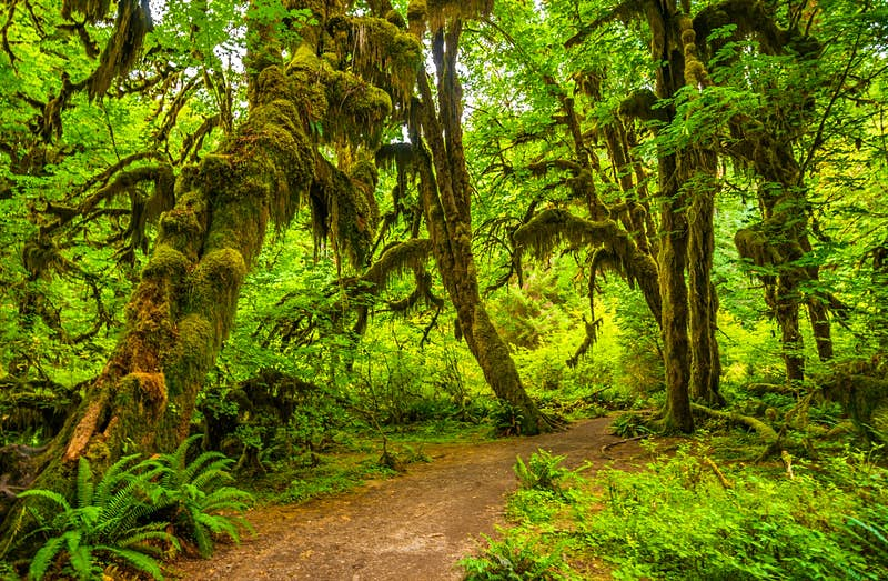 A path runs through trees dripping with moss and foliage in Olympic National Park in Washington