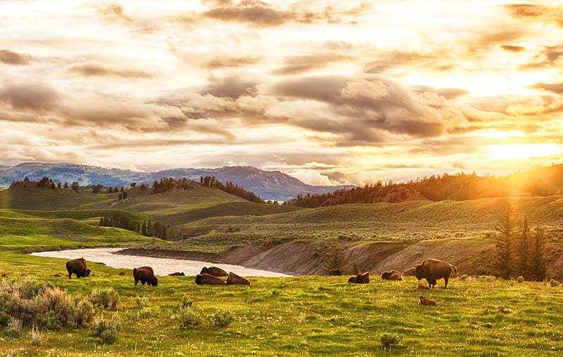 A herd of bison sits next to a river at Yellowstone National Park. Yellowstone and the nearby Grand Tetons are among the best National Parks for watching wildlife