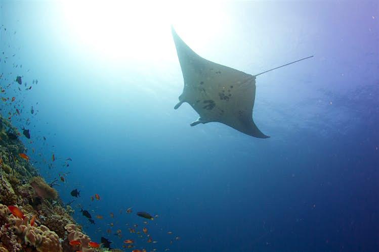 anta ray, Maldives. Image by Tchami CC BY-SA 2.0