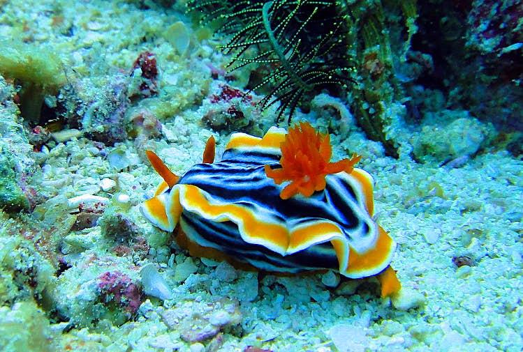 Nudibranch, Visayas, Philippines. Image by Matt Kiefer CC BY-SA 2.0