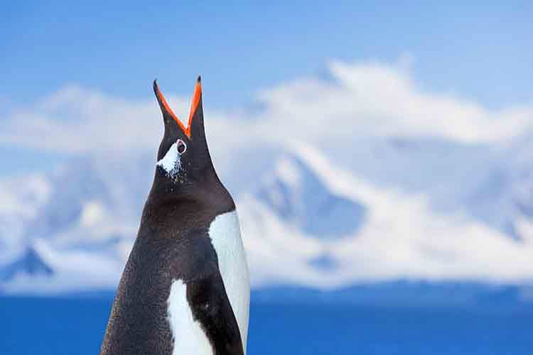 A noisy gentoo penguin in Antarctica. Image by Ralf Hettler / E+ / Getty Images.