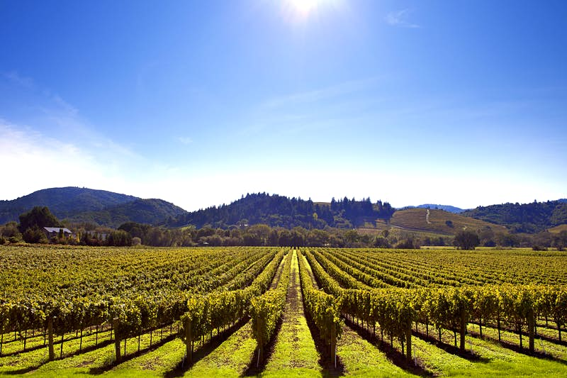 Sun-drenched vineyards in Sonoma County. The photo shows rows of uniform vines under a clear blue sky and bright sun.