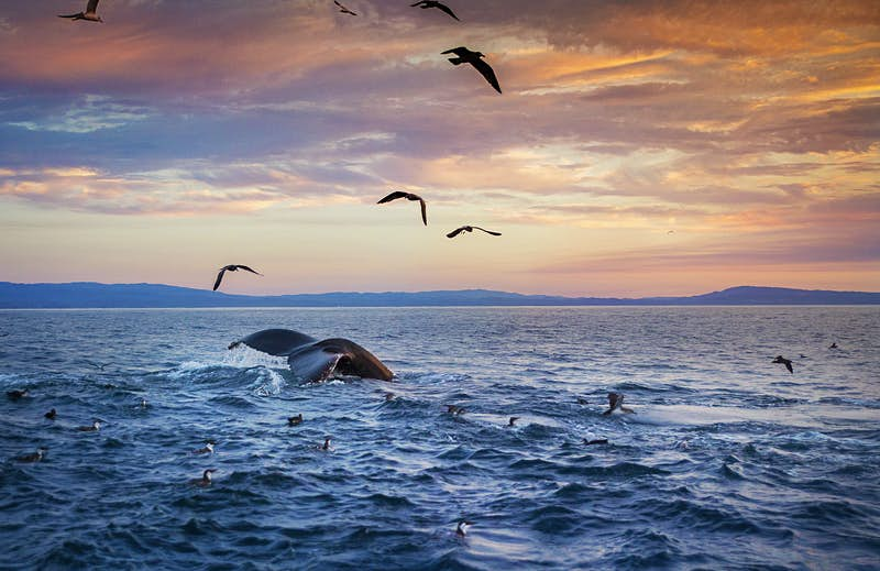 A humpback whale's tail is visible as it dives deep into the waters of Monterey at sunset. Birds are flying above the water as well as floating on the surface.