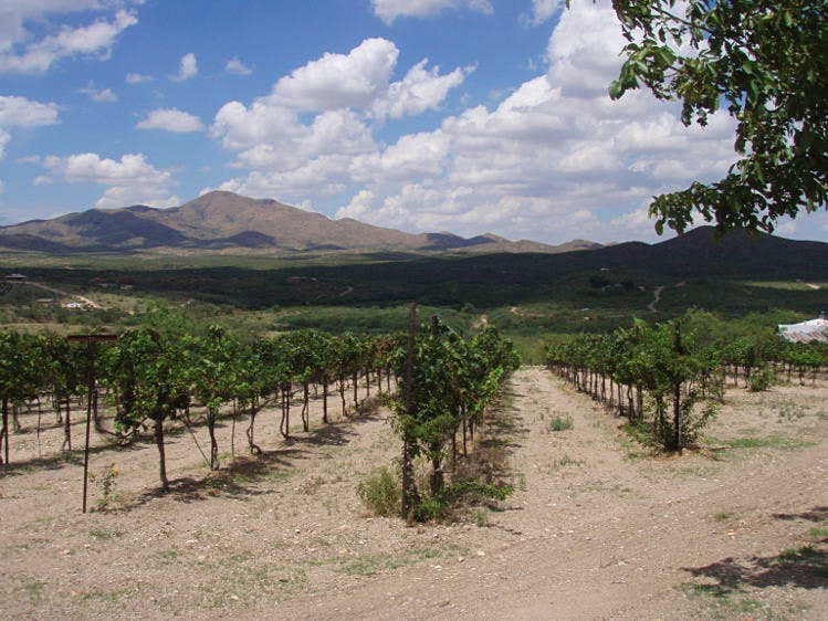 Vineyards in the foothills of the Santa Rita Mountains, Arizona. Image courtesy of Charron Vineyards.
