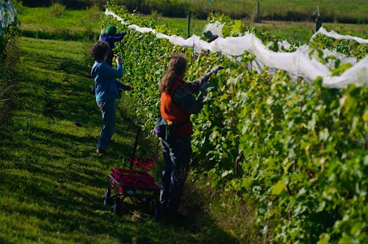 Harvesting grapes at Shelburne Vineyard. Image courtesy of Shelburne Vineyard