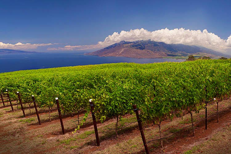 Vineyards with a volcanic view at Maui's Winery. Image courtesy of Maui's Winery