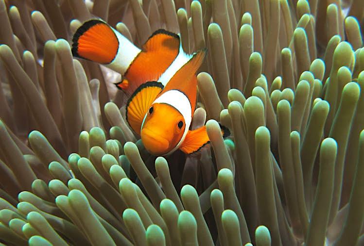Clown fish, Halik Reef, Gili Trawangan. Image by Randi Ang Getty