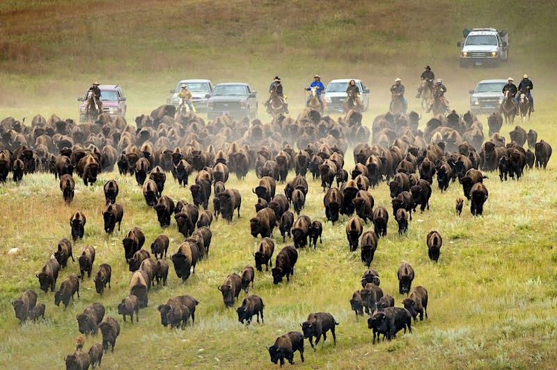 Custer State Park's annual Buffalo Roundup. Imagecourtesy of the South Dakota Department of Tourism.