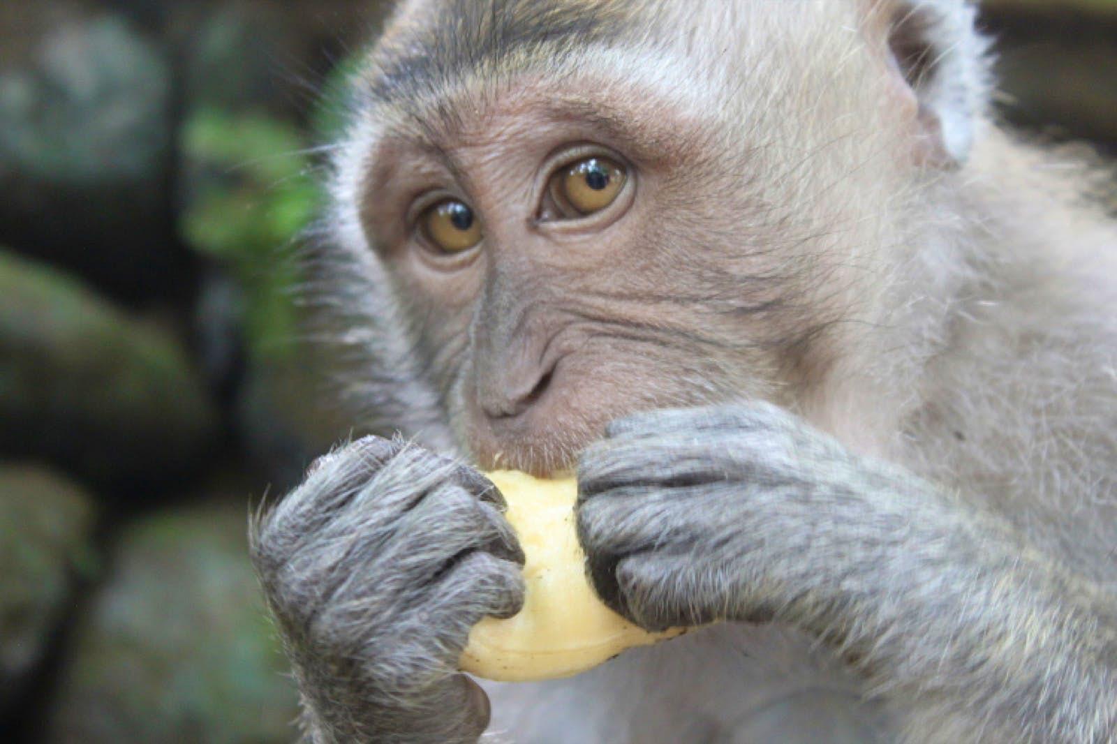 A light gray monkey eats a piece of fruit in Bali.