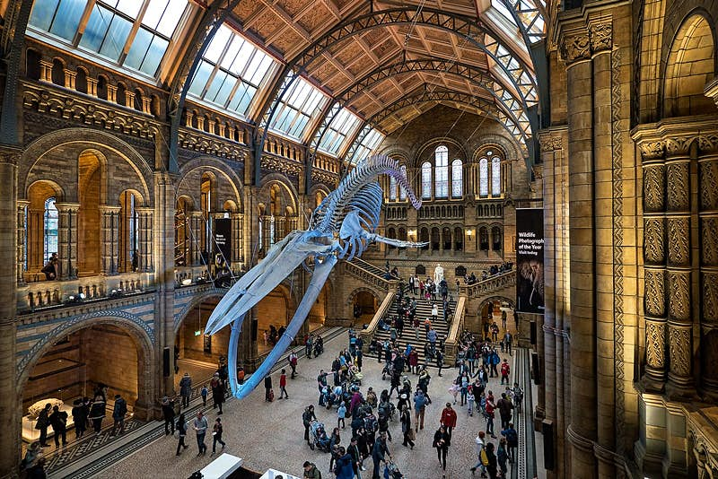 The entrance hall in London's Natural History Museum with the skeleton of a huge blue whale suspended from the ceiling. Visitors walk around underneath the skeleton and along the balconies around it. The room is warmly lit.