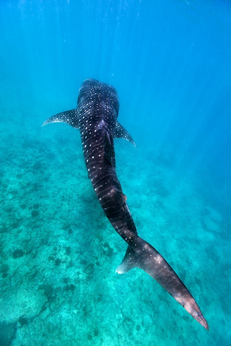 The best places to swim with whale sharks - Lonely Planet