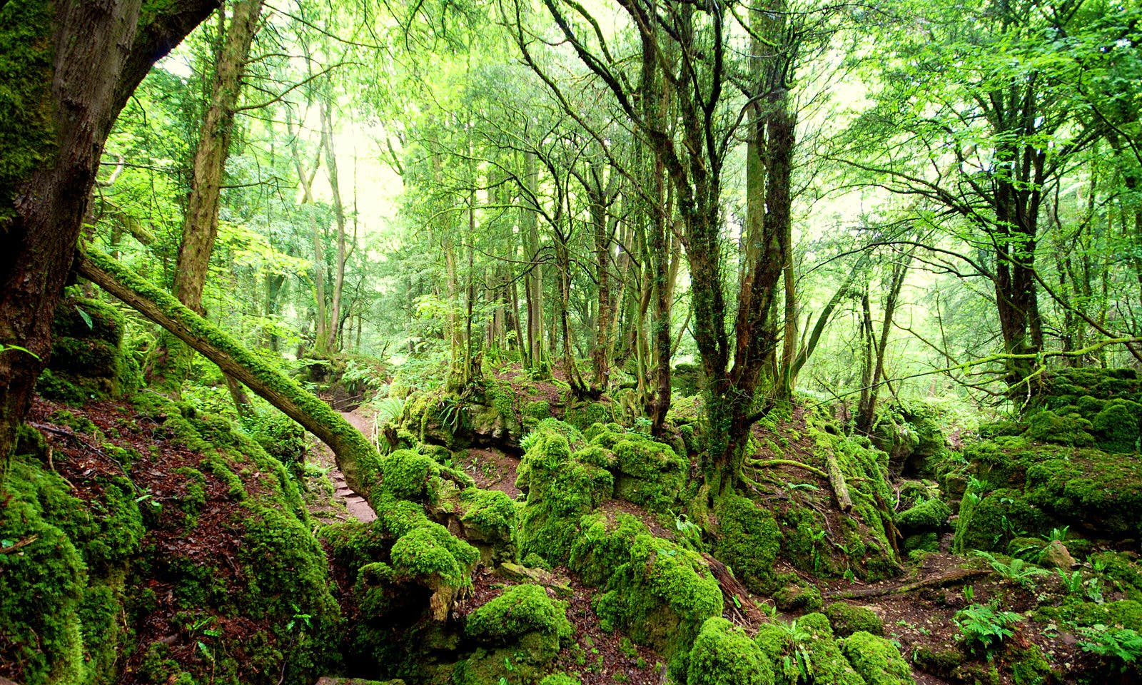 A forest filled with moss-covered trees and rocks in Puzzlewood