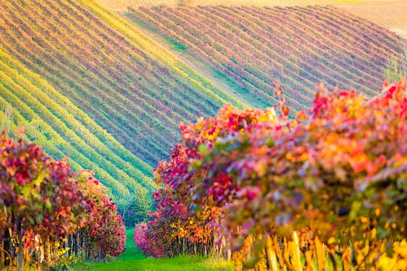 Lambrusco vineyard in autumn