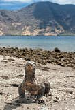 A Komodo dragon, the world's largest lizard, stands on a remote beach in Komodo National Park