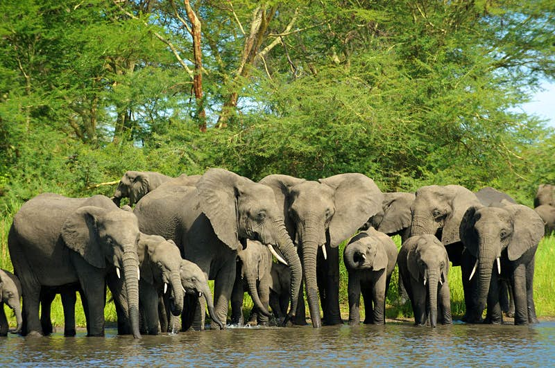 Elephant herd slating their thirst at the Shire River, Liwonde National Park © Christophe Cerisier / Getty Images