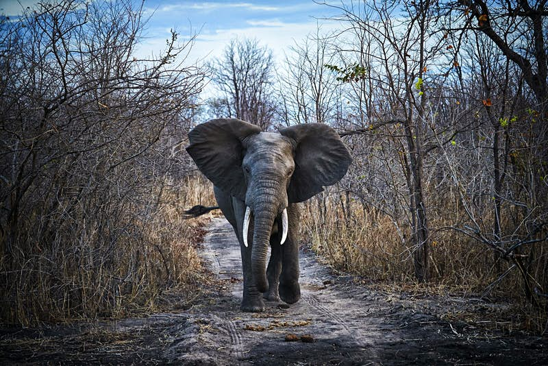 An elephant at Liwonde National Park walking towards the camera, with leafless trees on either side of it