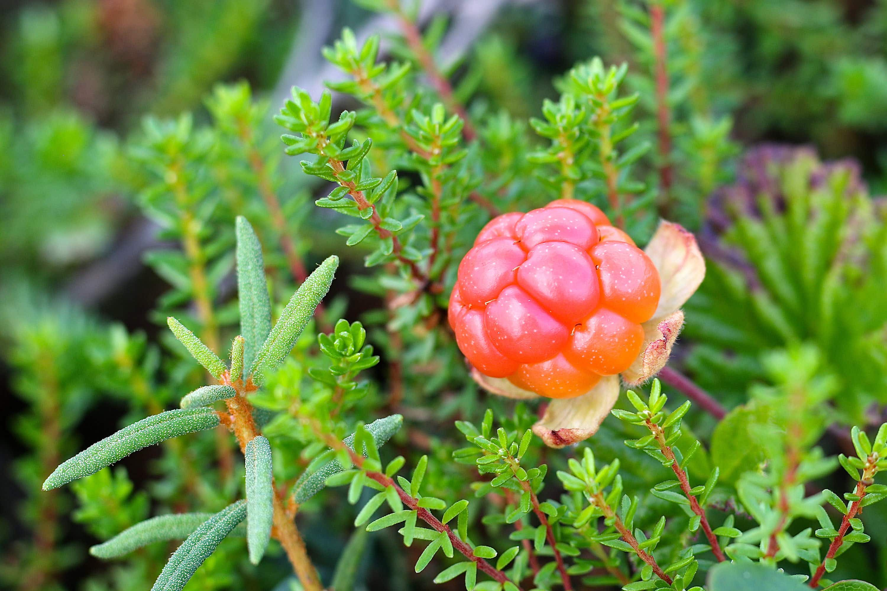 Lapland's gold: foraging for cloudberries in Finland