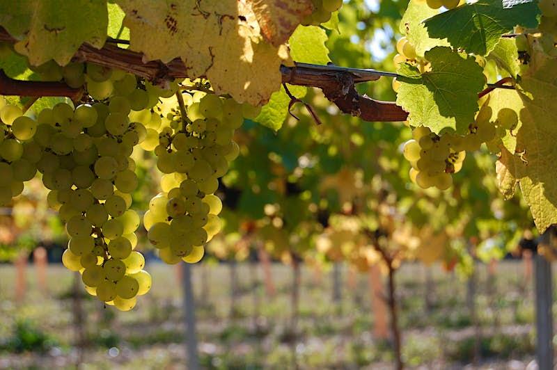 Chardonnay grapes at Chapel Down © Chapel Down