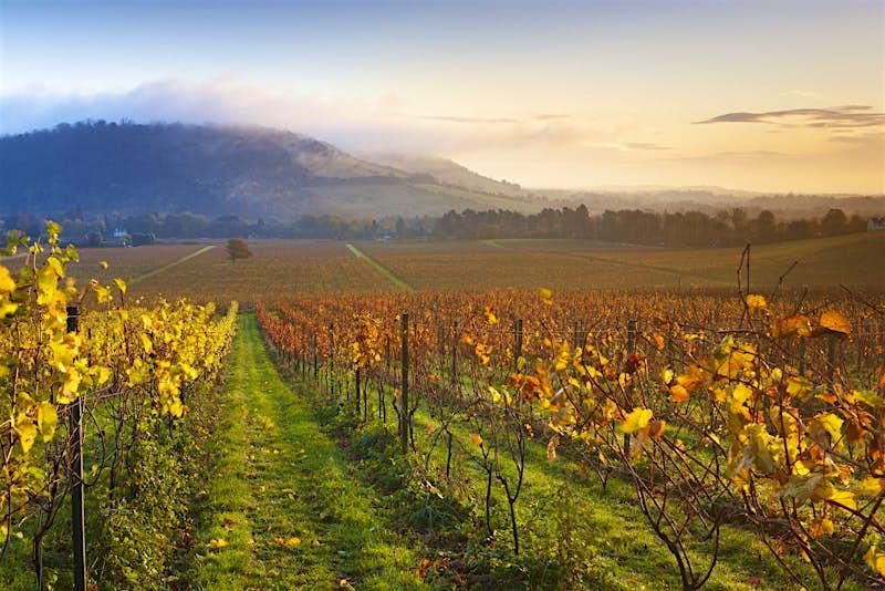 Autumn at Denbies' vineyard with Box Hill in the background © Helen Dixon / Denbies